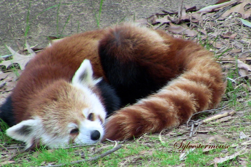 Red Panda Photo by Sylvestermouse