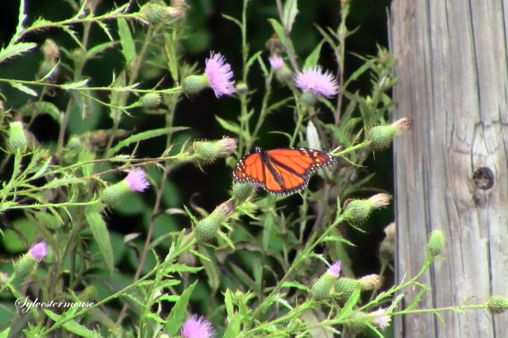 Monarch Photo by Sylvestermouse