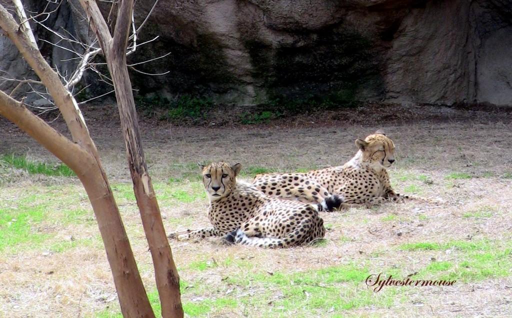 Cheetahs photo by Sylvestermouse