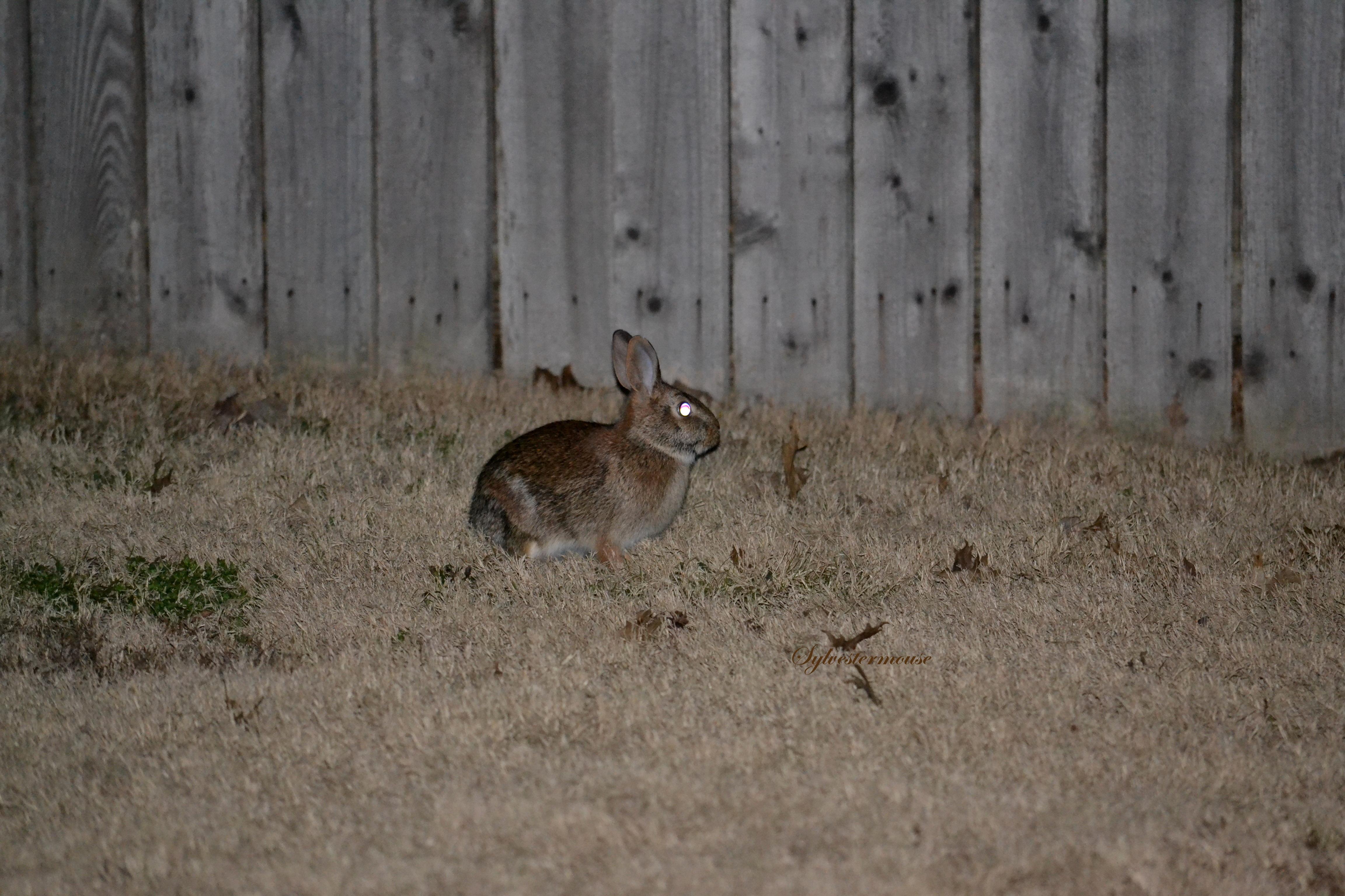 Beautiful Backyard Bunny Photo - Photography by Sylvestermouse