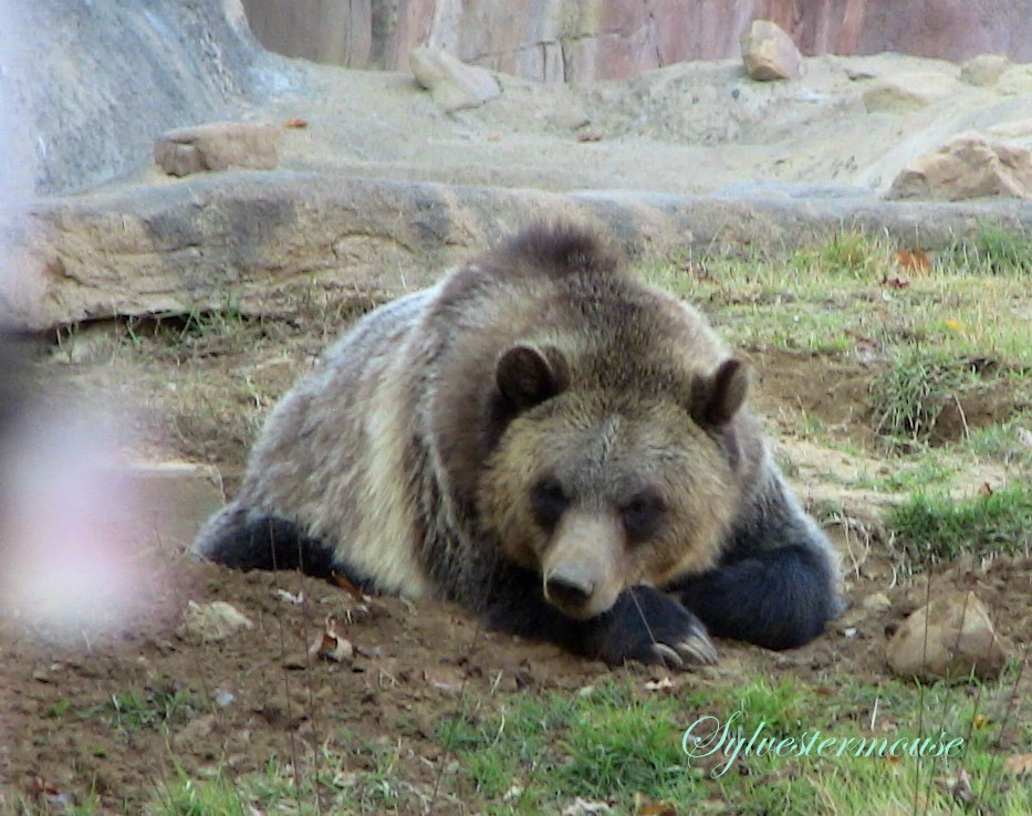 grizzly bear resting in - photo #15